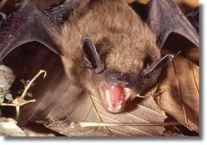Brown bat.