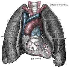 Drawing of Heart and Lungs