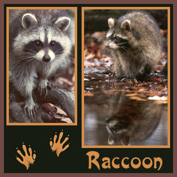 Raccoons love attics and may carry rabies.